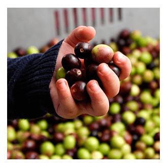 Mission Madama Oliva: Le Olive, la nostra passione.