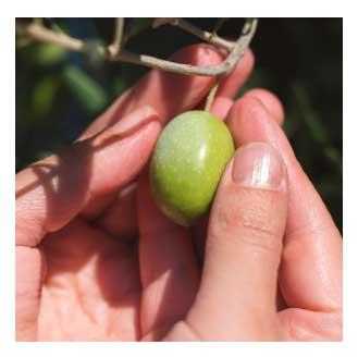 La qualità delle olive di Madama Oliva